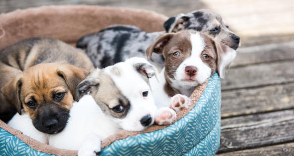 Can You Breed Brother And Sister Dogs Petcoach