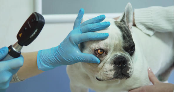 Why Is There a Bump on My Dog's Eyelid?   PetCoach