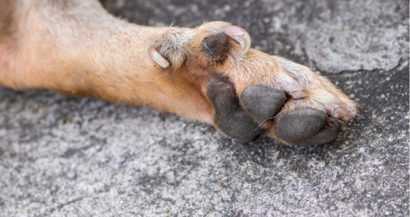 How Late Can You Remove Dew Claws in Older Dogs? | PetCoach