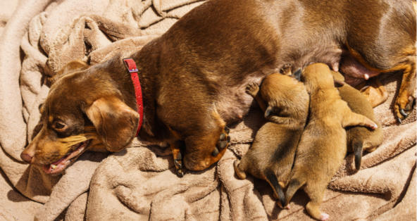 How Long Can a Dog be in Labor before Delivery? | PetCoach
