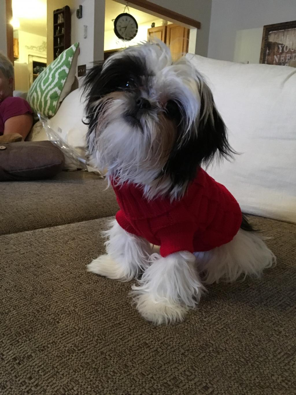 Does A Shih Tzu Puppy Grow Out Of Her Cottony Undercoat That Gets