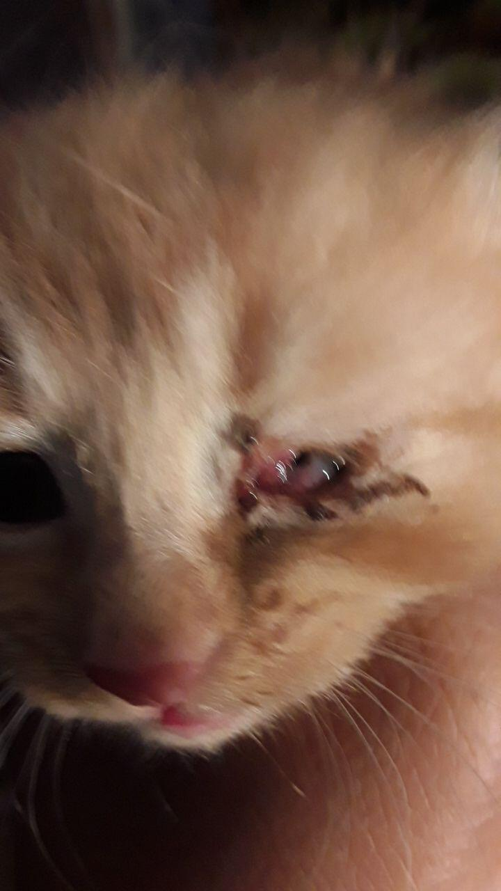 I Have A Male Kitten A Little Over A Month Old Who S Eye Has Become Covered In A Reddish Tissue Within The Last 3 Days Less Than Petcoach