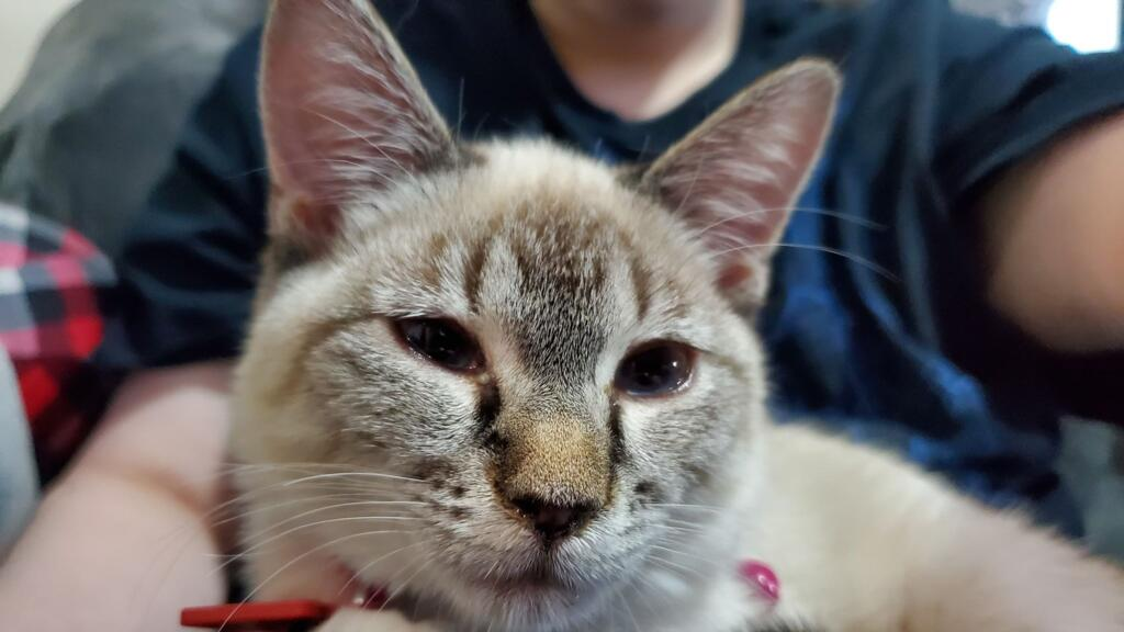 17 Week Old Kitten Eye Discharge Squinty Eyes Watery Eyes Sneezing Does This Look Like An Infection Should I Take In For Petcoach