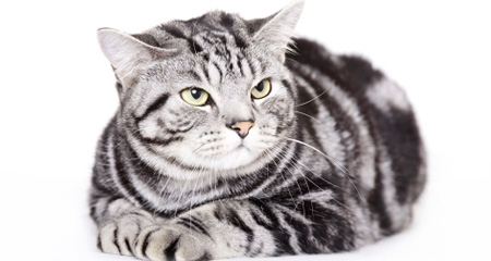 5 Facts You Should Know About American Shorthair Cats ...