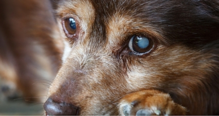 7 Potentially Serious Causes of Cloudy Eyes in Dogs | PetCoach