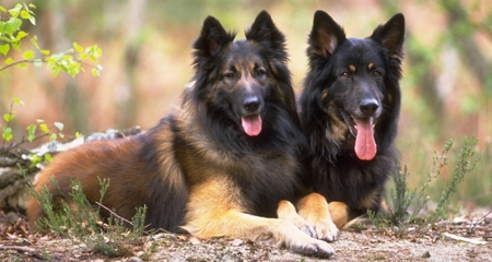 5 Facts You Should Know About German Shepherds | PetCoach