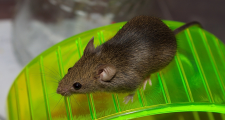 Toys and Other Environmental Enrichment for Rats and Mice