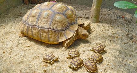 African Sulcata Tortoise (Geochelone sulcata) Species