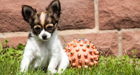 Top 5 Health Concerns in Chihuahuas   PetCoach