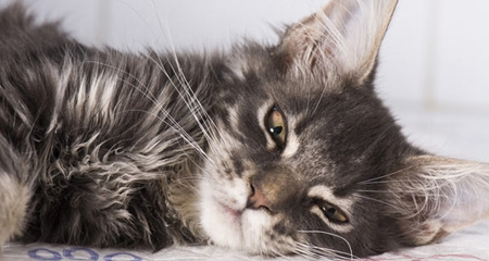 5 Early Warning Signs Of Hyperthyroidism In Cats Petcoach