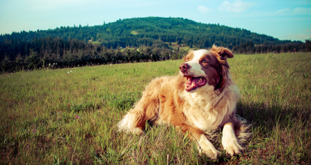 5 Things to Know About Australian Shepherds | PetCoach