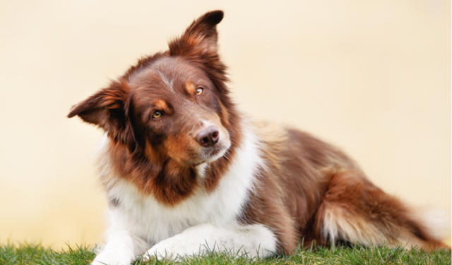 Acquired Deafness and Hearing Loss   PetCoach