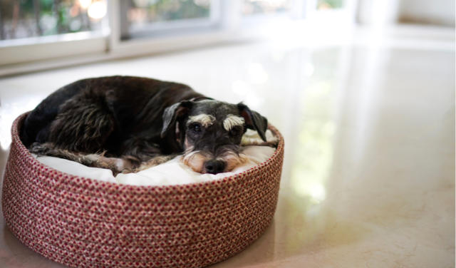 Inflammatory Bowel Disease (IBD) in Dogs | PetCoach