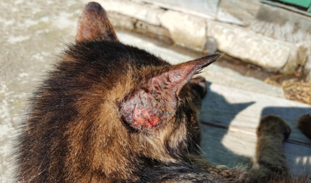 Skin Ulcers and Lesions in Cats | PetCoach