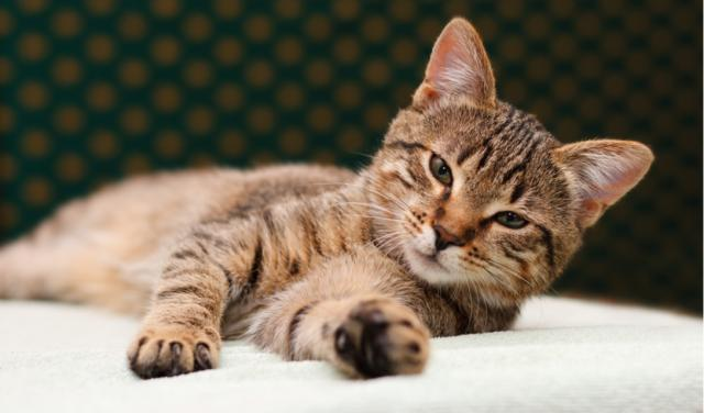Seizures in Cats | PetCoach