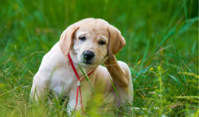 Flea Allergy in Dogs | PetCoach