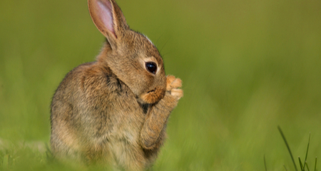 Pododermatitis (Sore Feet and Hocks) In Rabbits and Guinea
