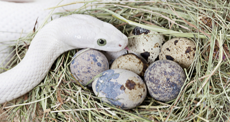 Egg Binding Dystocia In Reptiles Causes Signs Diagnosis