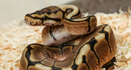 Ball Python (Python regius) Basic Husbandry and Feeding: Housing ...