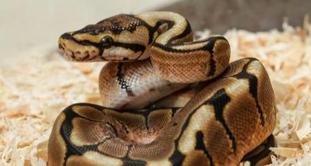 Ball Python (Python regius) Basic Husbandry and Feeding: Housing ...
