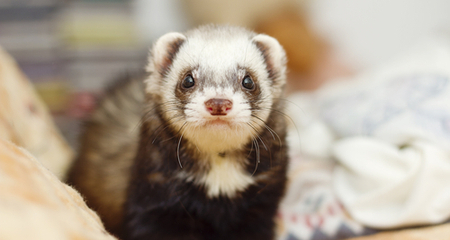 Awe Inspiring Diarrhea In Ferrets Causes Diagnosis And Treatment Petcoach Machost Co Dining Chair Design Ideas Machostcouk