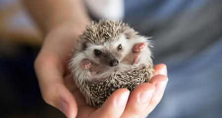 Image result for african pygmy hedgehog