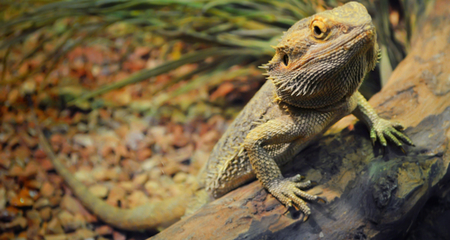 Bearded Dragon (Pogona) Species Profile: Habitat, Diet and