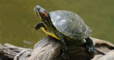 Red-Eared Slider Care: Diet, Habitat, & Characteristics | PetCoach