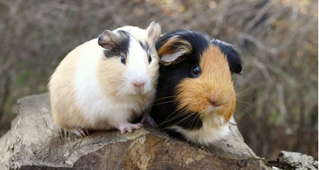 Guinea Pig Vitamin C Requirements | PetCoach