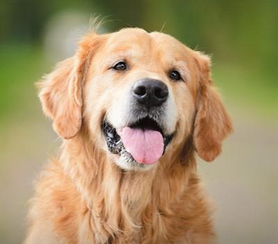 Golden Retriever Dog Breed Information, Characteristics