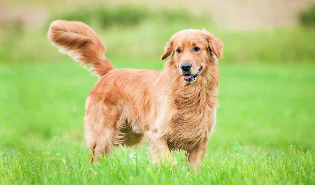 Golden Retriever Dog Breed Information, Characteristics