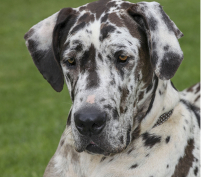 Great Dane Breed Facts and Information | PetCoach