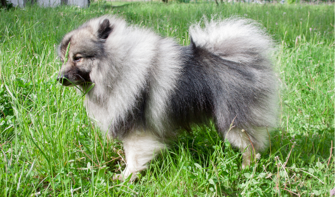 Keeshond Breed Facts and Information   PetCoach