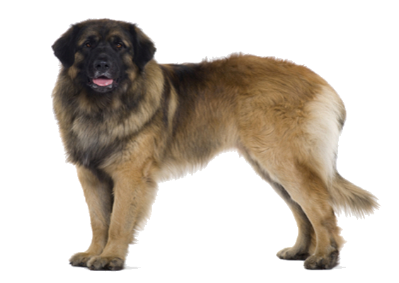 Leonberger Breed Facts and Information | PetCoach