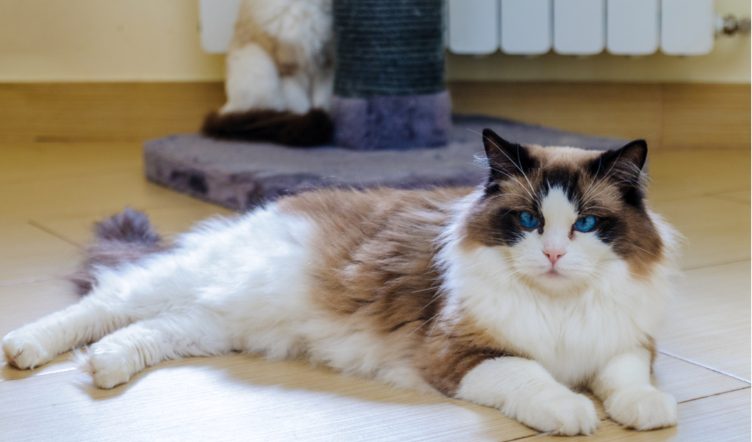 Ragdoll Breed Facts and Information | PetCoach