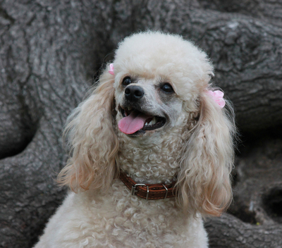 Miniature Poodle Breed Facts and Information | PetCoach