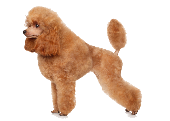 Toy Poodle Facts And Information Petcoach