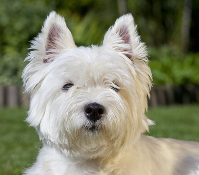 West Highland White Terrier Breed Facts and Information