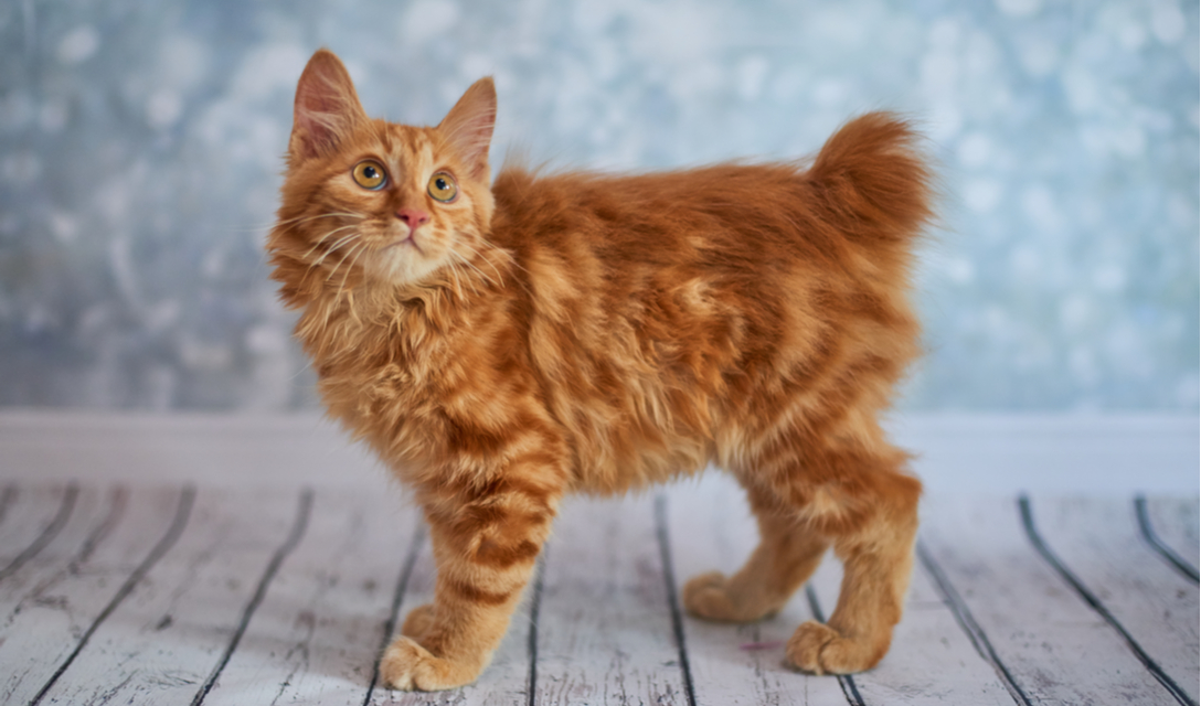 American Bobtail Breed Facts and Information   PetCoach