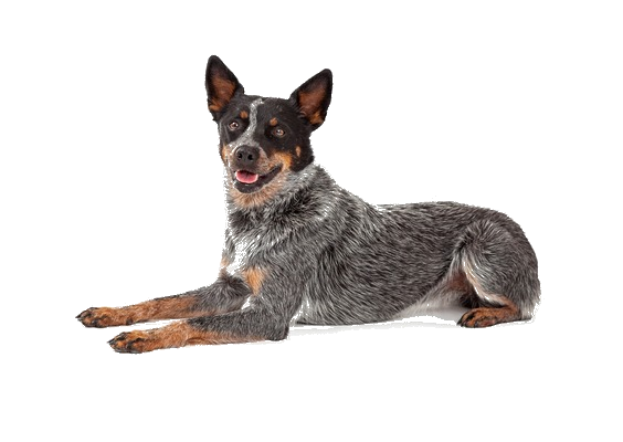 Australian Cattle Dog Breed Facts and Information   PetCoach