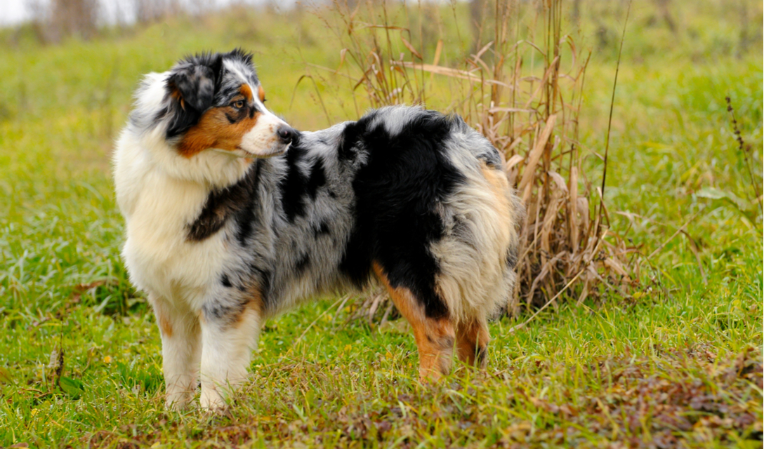 Australian Shepherd Breed Facts And Information Petcoach