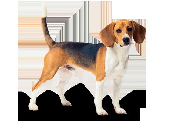 Beagle Dog Breed Information Characteristics Fun Facts Petcoach