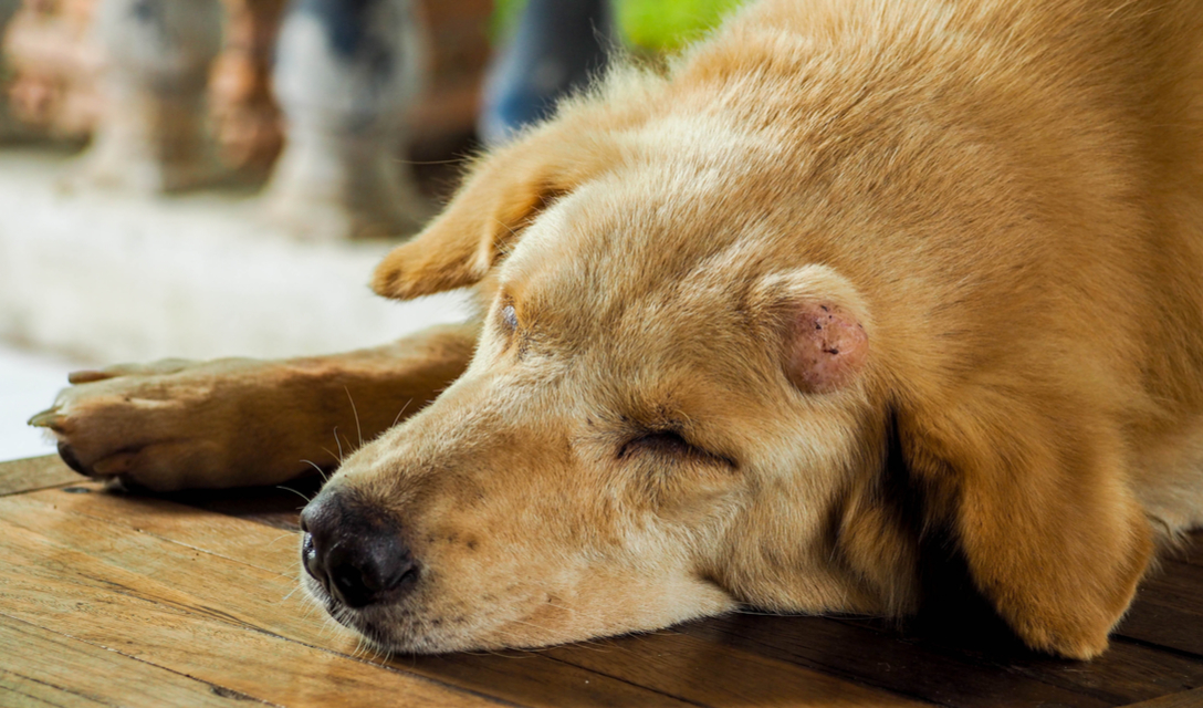 Skin Lumps and Bumps in Dogs